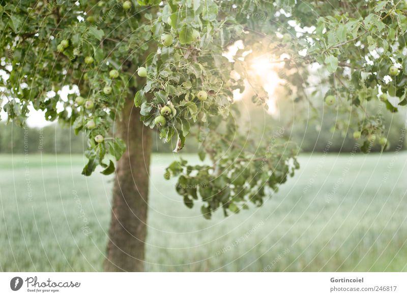Und morgen geht sie wieder auf. Umwelt Natur Landschaft Sonne Sonnenlicht Sommer Baum Feld grün Apfelbaum Apfelbaumblatt Blatt Farbfoto Außenaufnahme