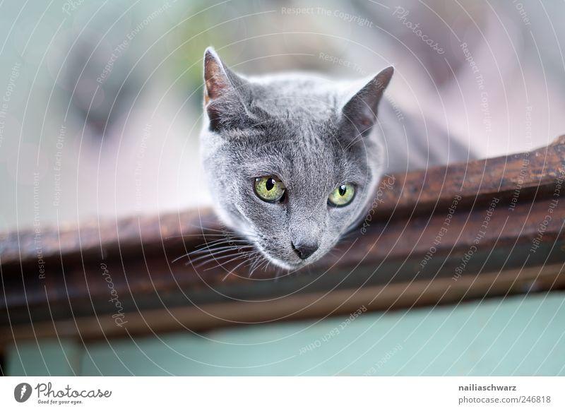 Neugierige Katze schön blau Tier grau braun liegen ästhetisch Tiergesicht beobachten silber Haustier kurzhaarig
