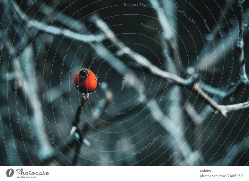 Nahaufnahme einer roten und runden Frucht in einer Winter- und Schneelandschaft Kräuter & Gewürze schön Medikament Windstille Garten Natur Pflanze Herbst