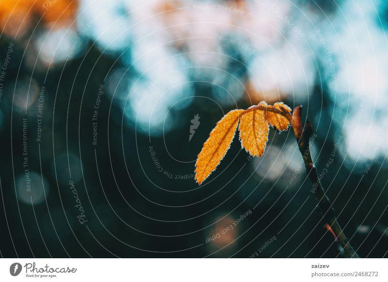Nahaufnahme einiger vereinzelter gelber Blätter der Rosa rubiginosa mit verschwommenem Naturhintergrund schön Windstille Winter Berge u. Gebirge Garten Tapete
