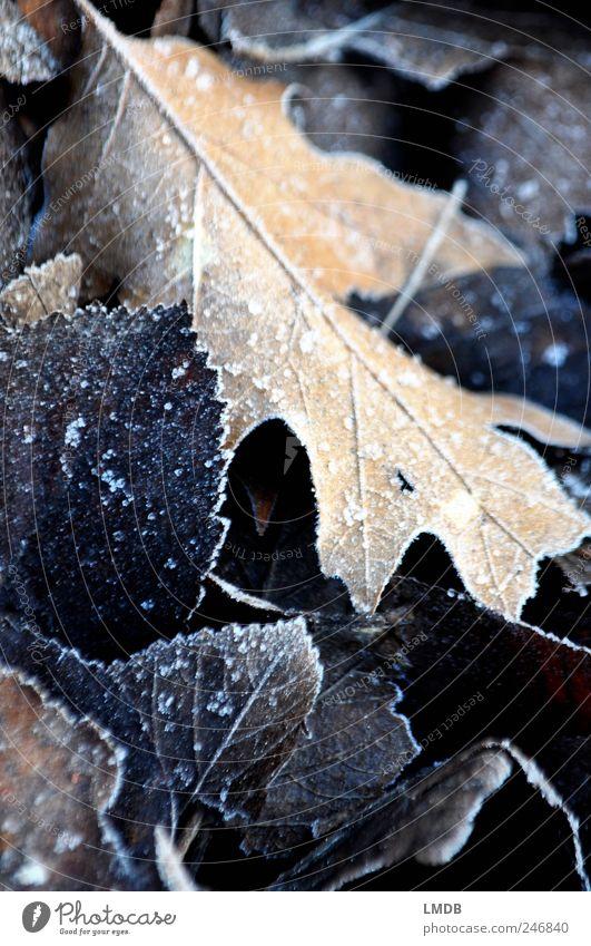 Frostiger Herbstbeginn Natur Eis Blatt schwarz Raureif Eichenblatt Kontrast Herbstlaub herbstlich Farbfoto Gedeckte Farben Außenaufnahme Nahaufnahme