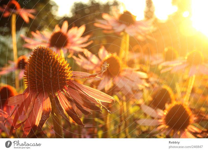 Ein letzter Sommertag Natur Pflanze Herbst Blume Blüte Garten Wärme gelb grün rosa schön Gelassenheit Erholung Stimmung Sonnenuntergang Blumenbeet welk