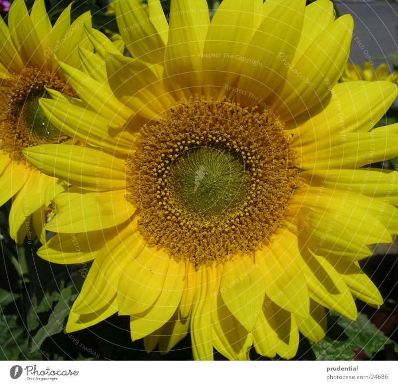 sunflower sonnenblume Sonnenblume gelb Sommer Blume Kraft Farbe