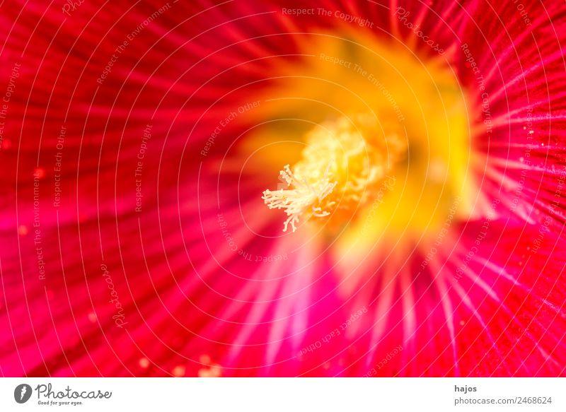 Hibiskus, Nahaufnahme der Blüte, Hibiscus rosa-sinensis Design Sommer Natur Pflanze Topfpflanze schön rot Makroaufnahme Heilpflanzen exotisch Tee