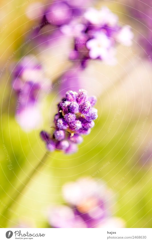 Lavendel, Blüte Sommer Natur Pflanze Blume Nutzpflanze hell violett Nahaufnahme lila sommerflora mediterran Parfum Duft Heilpflanze Naturheilkunde Phytotherapie