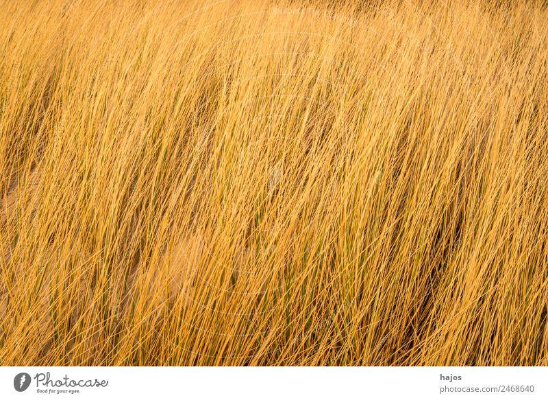 Strandhafer am Ostseestrand Natur Pflanze Tier maritim Tourismus Pflanzen typisch braun formatfüllend Hintergrundbild Farbfoto Außenaufnahme Menschenleer