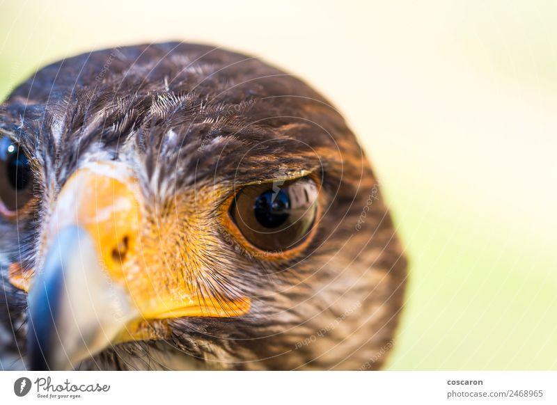 Porträt von Harris Falke. Nahaufnahme Jagd Hand Natur Tier Himmel Baum Wald Wildtier Vogel Tiergesicht 1 sitzen wild braun gelb rot weiß Hintergrund Schnabel