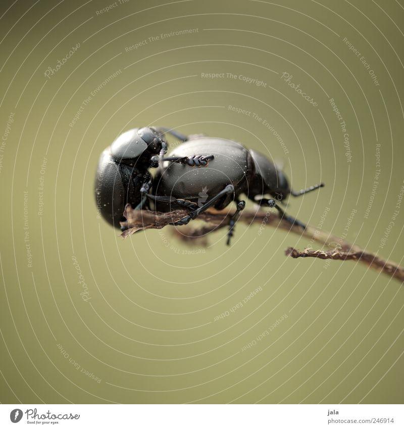 sex grün Tier schwarz Tierpaar Wildtier Käfer Aggression