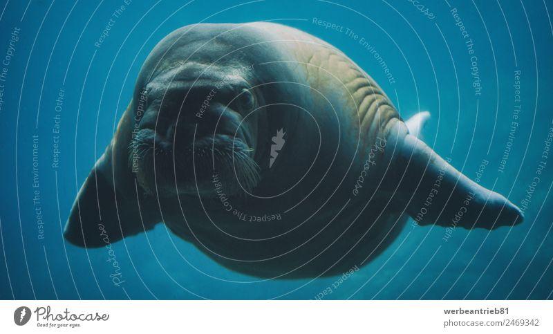 Schwimmendes Walross unter Wasser elegant exotisch Erholung Whirlpool Schwimmen & Baden Strand Meer Natur Tier Wildtier Walroß 1 niedlich wild blau gefährlich