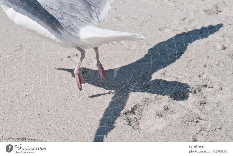 Mach mir den Düsenjet... Tier Flügel 1 fliegen Abheben Möwe Möwenvögel Vogel Schatten Schattenspiel Düsenflugzeug Pfote Sand Strand Geschwindigkeit