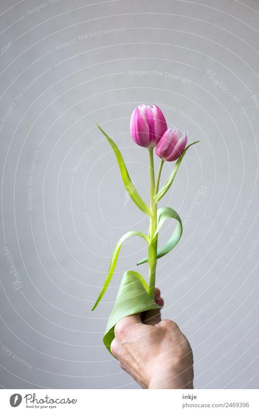 zusammen eins Hand Blume Tulpe Blüte Blühend festhalten außergewöhnlich frisch grün rosa einzigartig Zusammenhalt paarweise 2 Stengel Vor hellem Hintergrund