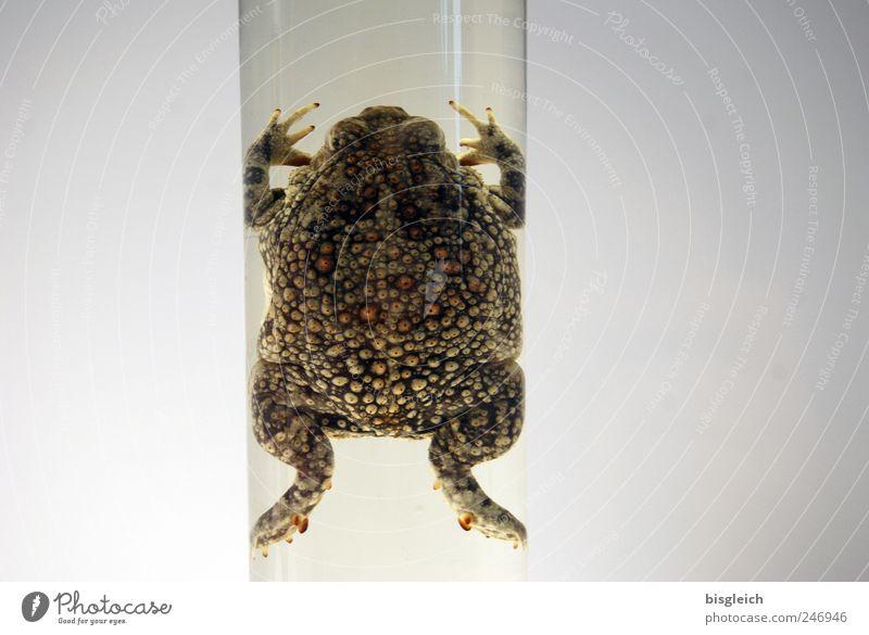 Rohrfrosch grün Tier grau Glas Glas Röhren Frosch Labor Lurch Tierschutz Tierpräparat Froschschenkel
