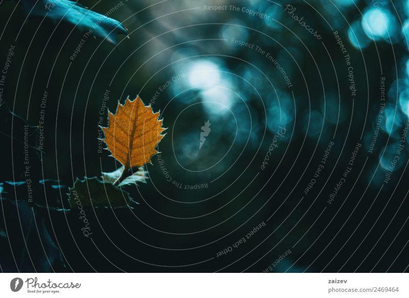 Nahaufnahme eines isolierten orangefarbenen Blattes von Quercus ilex mit einem dunklen Hintergrund mit Bokeh Windstille Sonne Winter Berge u. Gebirge Garten