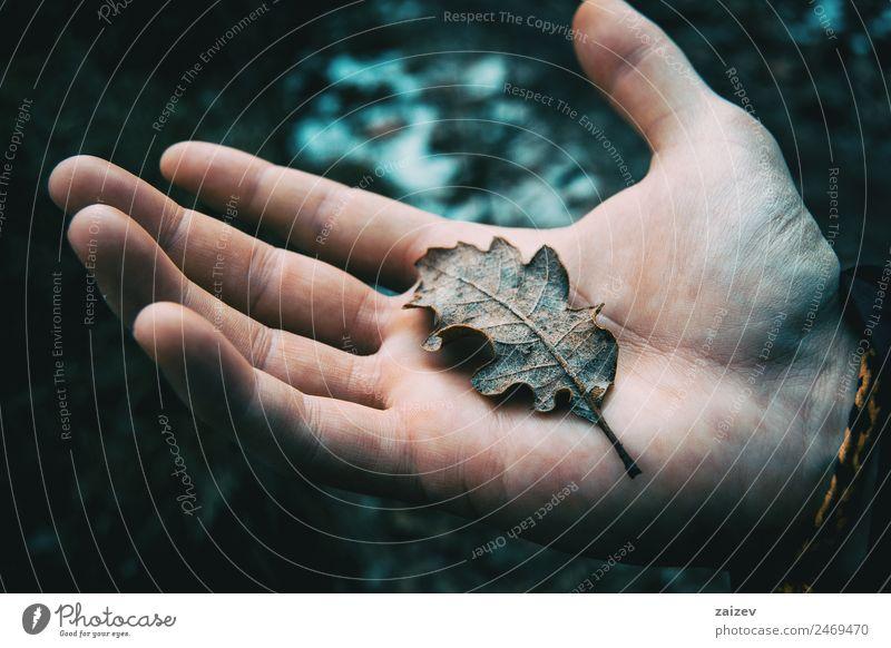 Nahaufnahme der Hand eines Mannes, der ein getrocknetes Blatt des Querecks hält. Design Windstille Winter Junge Erwachsene Umwelt Natur Landschaft Pflanze