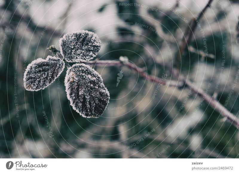 Nahaufnahme von verschneiten Blättern der Rosa rubiginosa im Winter Design Windstille Schnee Herbst Baum Blatt alt dunkel retro wild braun rot weiß Farbe rein