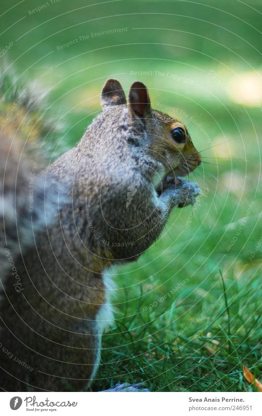 stop eating animals. Park Wiese Wildtier Tiergesicht Eichhörnchen außergewöhnlich Rasen Fell Farbfoto Gedeckte Farben Außenaufnahme Tierporträt Wegsehen