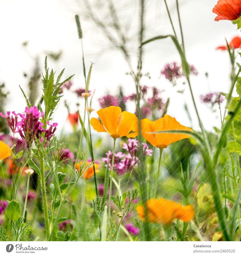 Noch einmal Gelb Natur Pflanze Himmel Sommer Blume Gras Blatt Blüte Gräserblüte Mohn Mohnblüte Garten Wiese Blühend Duft verblüht Wachstum schön gelb grau grün