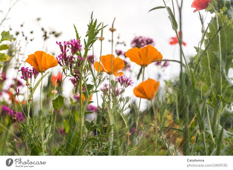Blumenwiese mit Mohn Sommer Pflanze schön grün rot Blatt ruhig Umwelt Blüte natürlich Wiese Gras Garten orange rosa