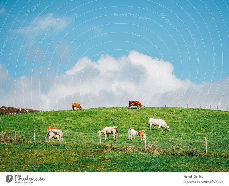 Irland Landschaft Himmel Wolken Frühling Sommer Schönes Wetter Wiese Feld Hügel Tier Nutztier Kuh Kalb Tiergruppe Herde Tierpaar Tierjunges Tierfamilie Fressen
