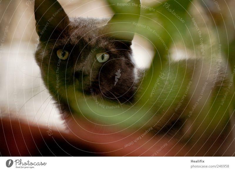 Hidden Cat Katze Natur Pflanze grün ruhig Tier schwarz Garten Freiheit Park elegant frei beobachten Schutz Neugier Sicherheit