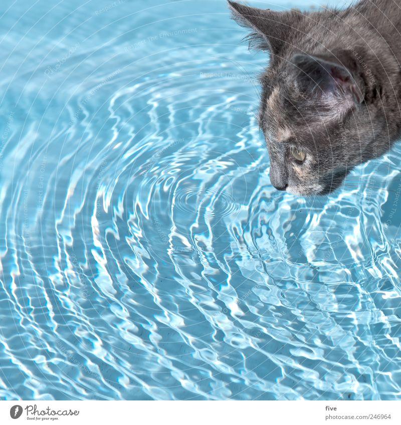 cat empire Wasser Wassertropfen Tier Haustier Katze Fell 1 beobachten trinken blau Schwimmen & Baden Farbfoto Außenaufnahme Textfreiraum links