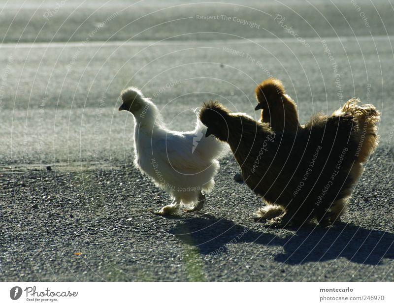 Wo gehts lang ? Tier Nutztier Haushuhn 3 gehen niedlich grau schwarz weiß Farbfoto mehrfarbig Außenaufnahme Abend Licht Schatten Gegenlicht Tierporträt Profil