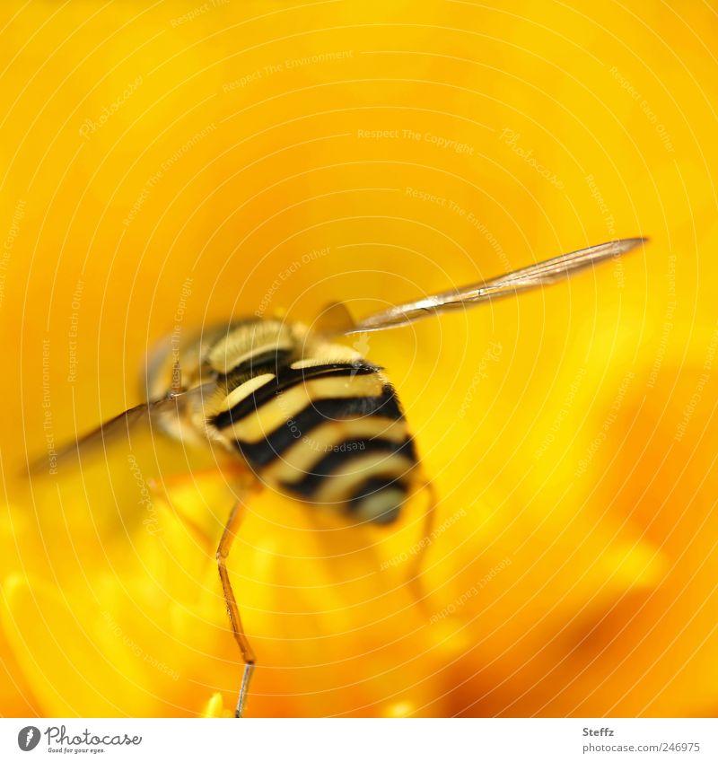 ins Gelbe eintauchen Natur Pflanze Sommer Blume Tier Farbe gelb Blüte Beine Fliege außergewöhnlich verrückt Aktion Flügel Hinterteil fantastisch