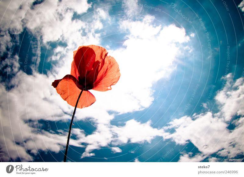 rot Himmel Wolken Sonne Sommer Schönes Wetter Blüte hell Wärme blau weiß Mohnblüte Farbfoto Außenaufnahme Menschenleer Textfreiraum rechts Hintergrund neutral