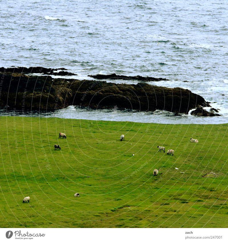 Irland Natur Landschaft Pflanze Tier Wasser Gras Wiese Felsen Wellen Küste Bucht Meer Atlantik Insel Republik Irland Nutztier Schaf Schafherde Tiergruppe Herde