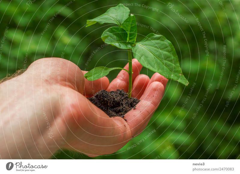 Hand hält junges Chili Pflänzchen Umwelt Natur Urelemente Frühling Pflanze Grünpflanze Nutzpflanze Topfpflanze Garten Feld grün umtopfen Chiliernte Blatt