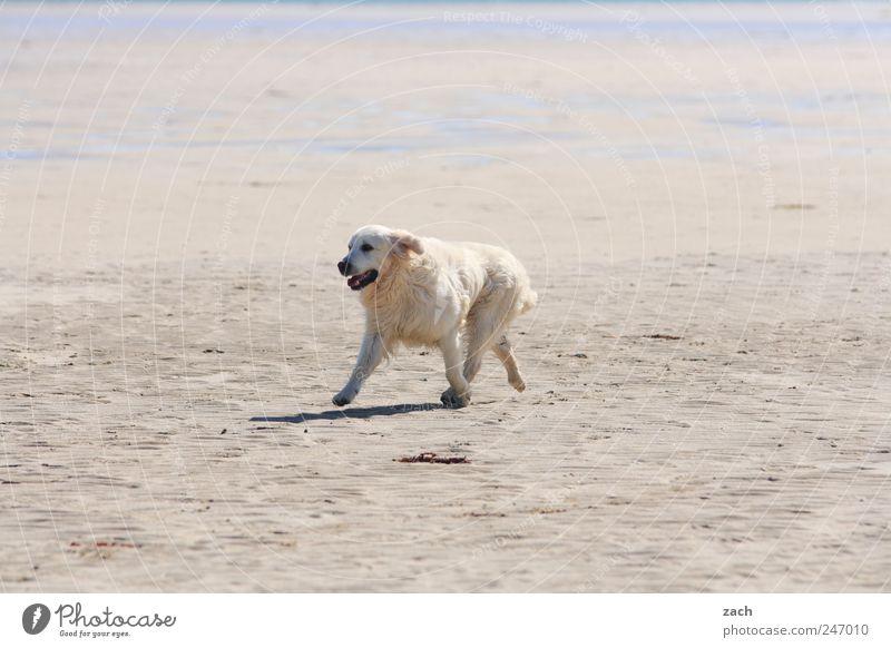 Ich möchte ein Eisbär sein Natur weiß Strand Tier Bewegung Hund Sand Küste laufen wild Fell Haustier