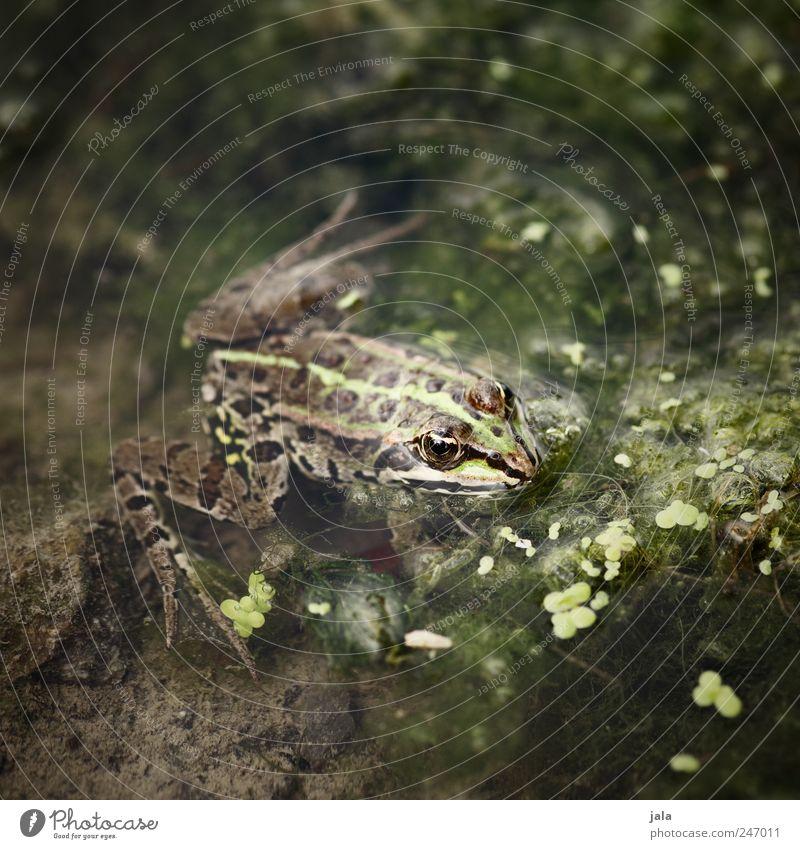 frosch Natur Wasser grün Pflanze Tier braun Fluss natürlich Wildtier Frosch Wasserpflanze