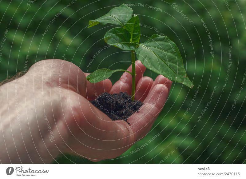 Hand mit jungem Pflänzchen Umwelt Pflanze Grünpflanze Nutzpflanze Topfpflanze Garten Park Wald Urwald grün Pflanzenteile Jungpflanze anbauen Ernte Erntehelfer