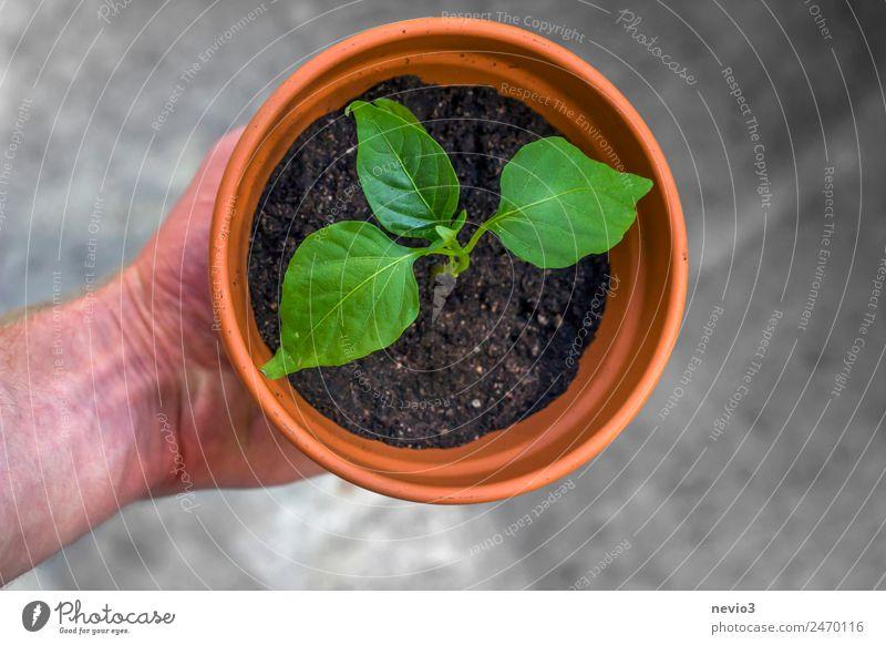 Topfpflanze in der Hand Frühling Sommer Pflanze Blatt Grünpflanze Nutzpflanze klein grün Frühlingsgefühle Wachstum festhalten Gewächshaus umtopfen Blumentopf