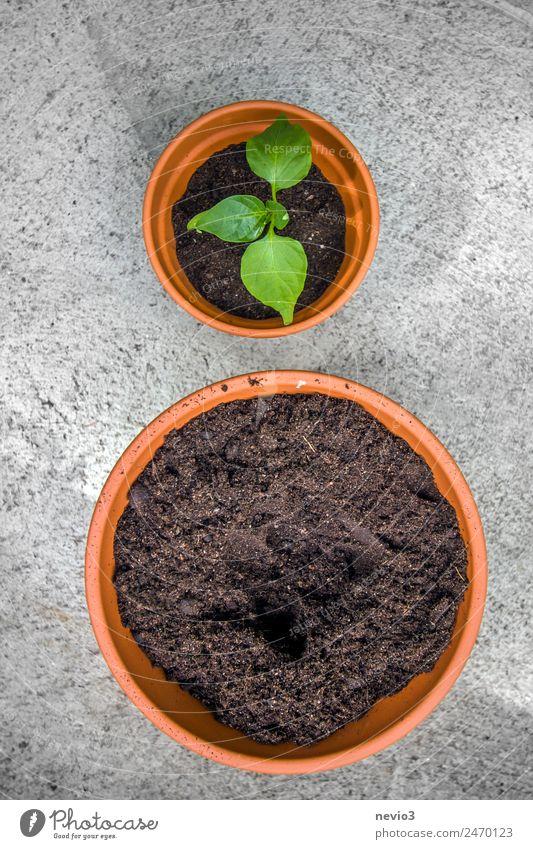 Umtopfen einer Chili Pflanze Grünpflanze Topfpflanze grün 2 Töpferwaren Blumentopf Erde Boden Beton Betonplatte Terrasse Balkonpflanze Wechseln Gärtnerei