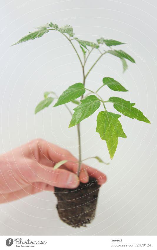 Tomatenpflanze in der Hand vor hellem Hintergrund Frühling Sommer Blatt Grünpflanze Nutzpflanze Topfpflanze grün Frühlingsgefühle Tomatenplantage Stauden
