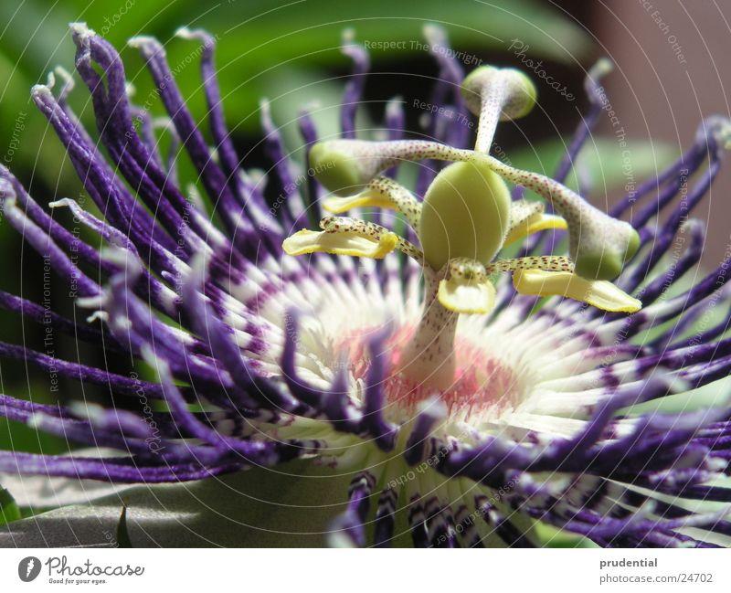 passionfruitblossom Blume Blüte nah Leidenschaft Stempel Frucht Maracuja
