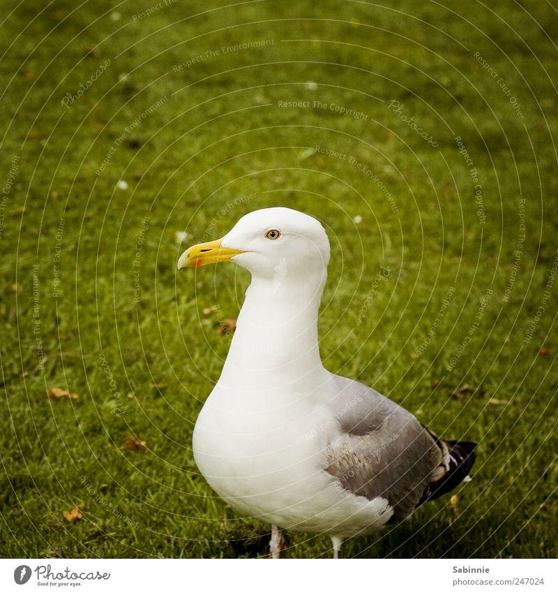 Model grün weiß schwarz Tier Auge gelb Gras Flügel Feder Möwe Schnabel Hochmut Vogel