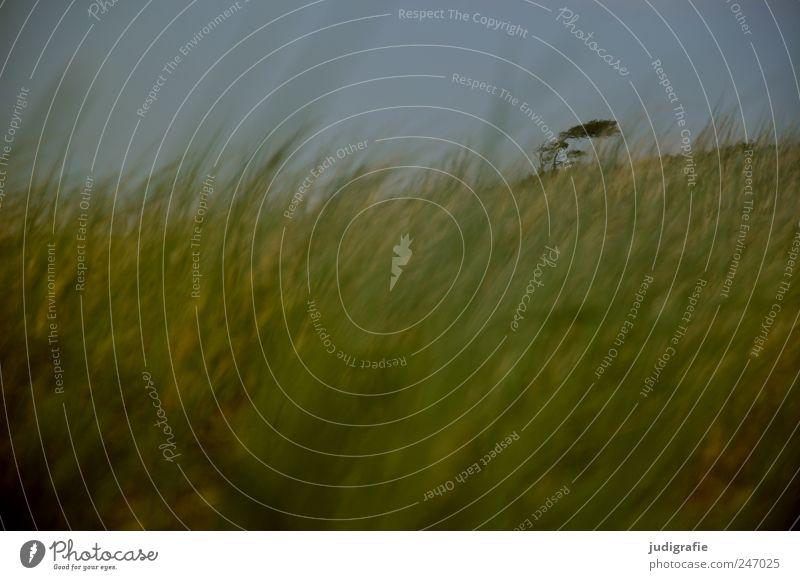 Weststrand Umwelt Natur Landschaft Himmel Pflanze Baum Gras Küste Ostsee Düne Darß kalt natürlich wild Stimmung Windflüchter Farbfoto Gedeckte Farben