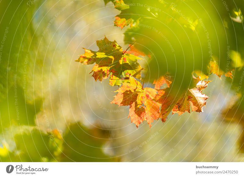 Goldener Herbst Tourismus Umwelt Natur Pflanze Tier Sonnenlicht Wetter Schönes Wetter Baum Blatt Wildpflanze Wald gelb grün orange Deutschland Ahornblatt
