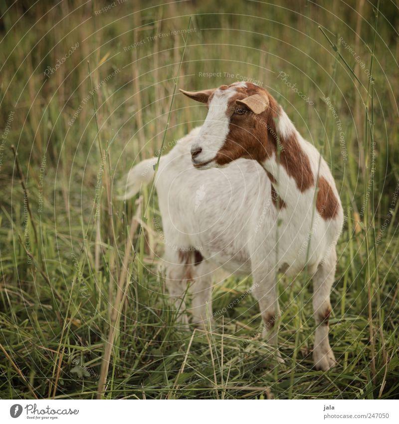 ziggy Umwelt Natur Landschaft Pflanze Tier Gras Sträucher Wiese Nutztier Ziegen 1 natürlich braun grün weiß Farbfoto Außenaufnahme Menschenleer Tag Tierporträt