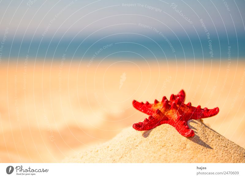 Seestern an einem Strand Ferien & Urlaub & Reisen Sommer Sand Tier 1 rot Sandstrand gelb Meer Küste blau Himmel leer Menschenleer Urlaubsfoto Urlaubsstimmung