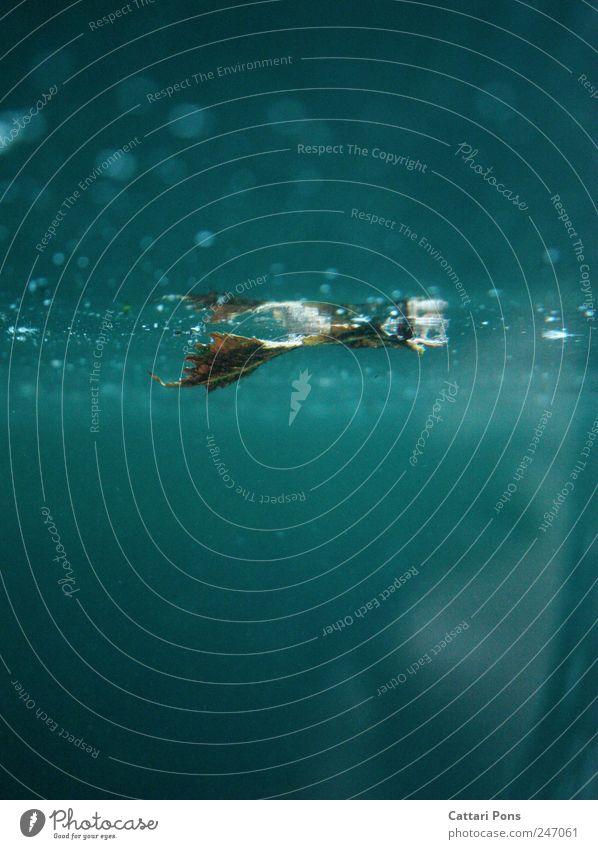 im Wasser Pflanze Blatt Schwimmen & Baden nass Aquarium gestaltbar glänzend vertrocknet getrocknet feucht kalt blau türkis Reflexion & Spiegelung außer Atem
