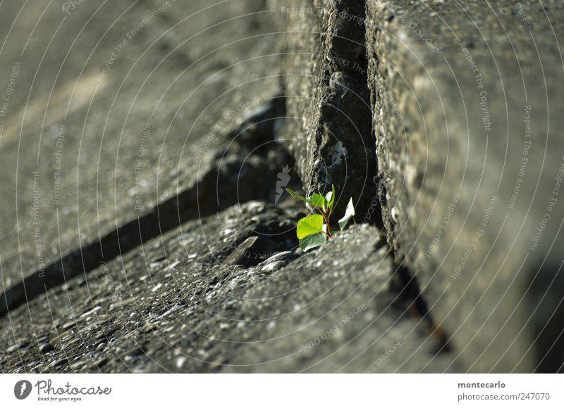Wenn ich erst mal groß bin.... Natur grün Pflanze Sommer Blatt grau Mauer Küste Park Sträucher Schönes Wetter Grünpflanze Detailaufnahme Nutzpflanze