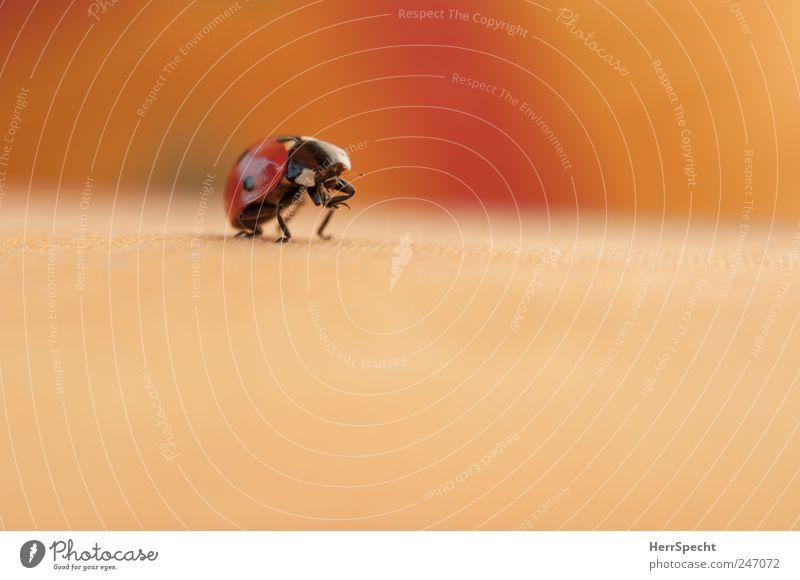 Auf die Plätze... Käfer Marienkäfer 1 Tier krabbeln klein gelb rot schwarz Reinigen niedlich Beine Farbfoto Gedeckte Farben Außenaufnahme Menschenleer