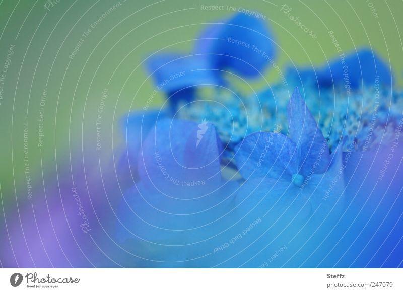 Blau Natur blau grün Pflanze Sommer Blume Farbe Blüte außergewöhnlich violett zart Blühend Blütenblatt Eindruck sommerlich Farbenspiel