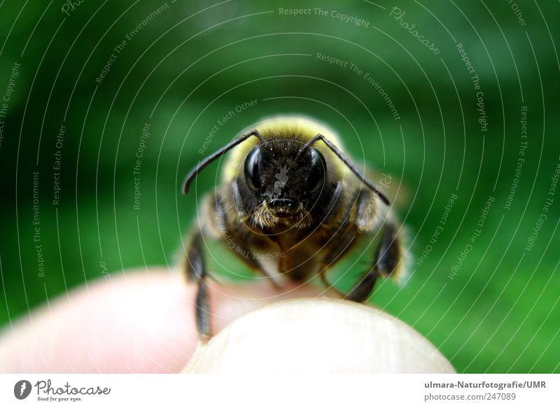 Hey Hummel Natur Tier brünett blond kurzhaarig Behaarung Wildtier Biene Tiergesicht Fell Krallen Pfote 1 beobachten berühren entdecken fangen fliegen