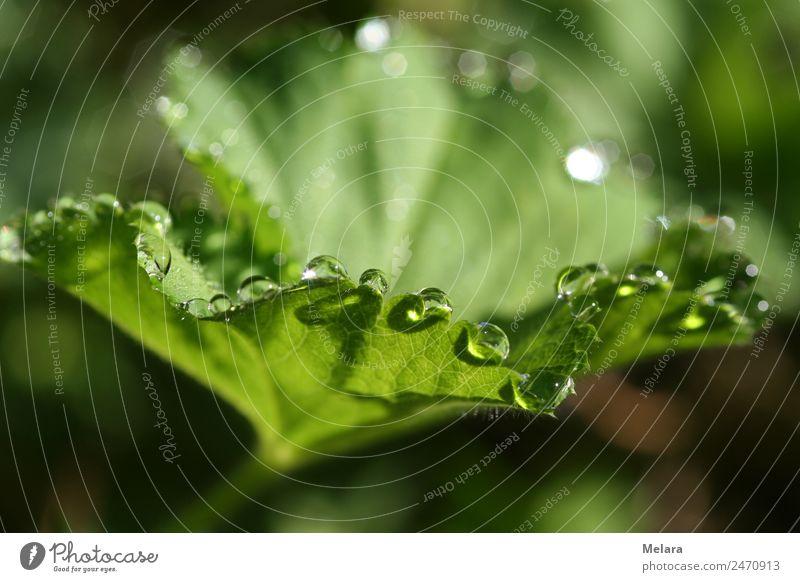 Tautropfen an grünem Blatt Natur Pflanze Wasser Wassertropfen Sonnenlicht Frühling Sommer Schönes Wetter Regen Grünpflanze Wildpflanze Garten Park Wiese Wald
