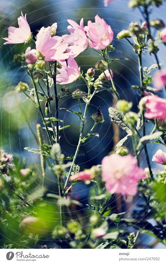 Sommer in der Luft grün Pflanze Blume Frühling rosa Sträucher Stengel Duft
