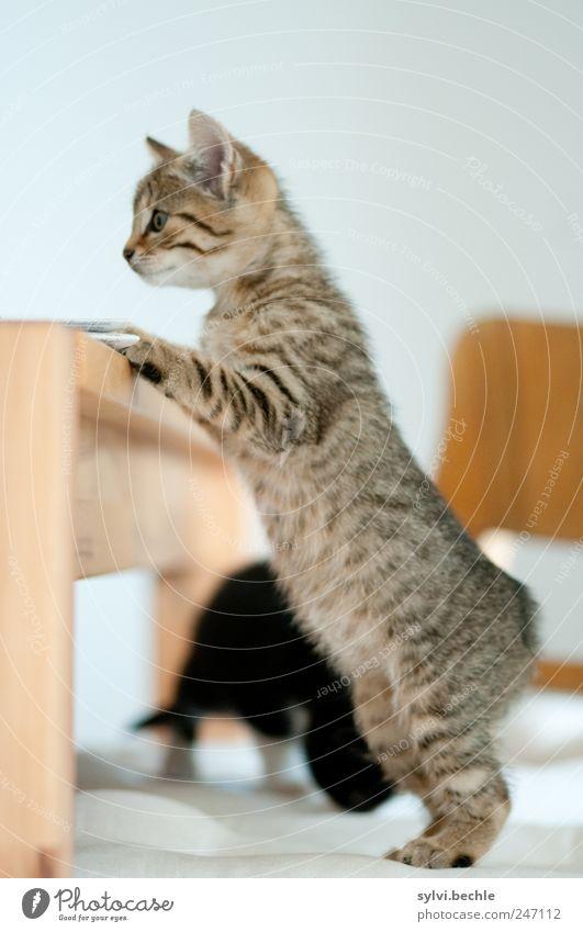 Gibt´s schon Frühstück? weiß Katze Tier Holz braun Tierjunges Wohnung Tisch Suche stehen Häusliches Leben Stuhl niedlich beobachten festhalten Neugier